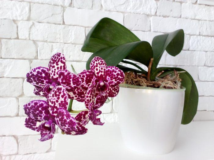 Орхидея дикий кот уход