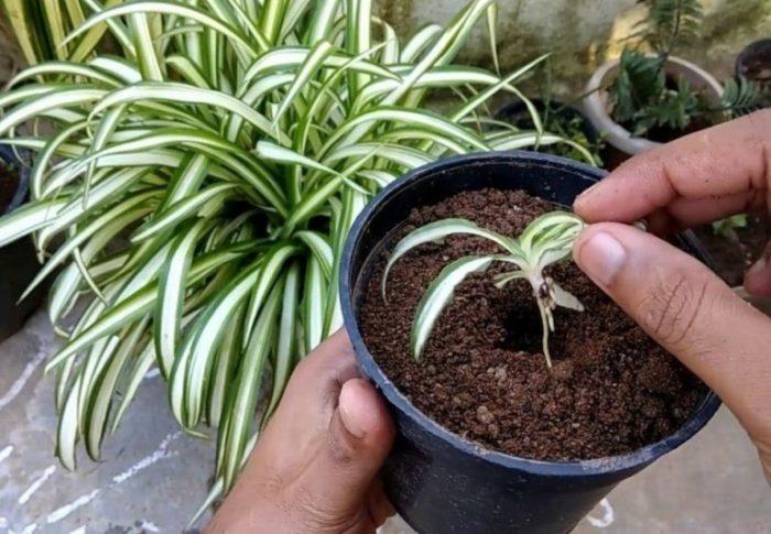 Хлорофитум как посадить отросток